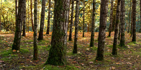 englishman: Forest at dawn