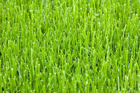 cut grass: Cut grass Stock Photo