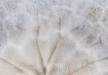 sand dollar: Sand dollar background