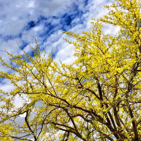 Bright yellow tree in Spring
