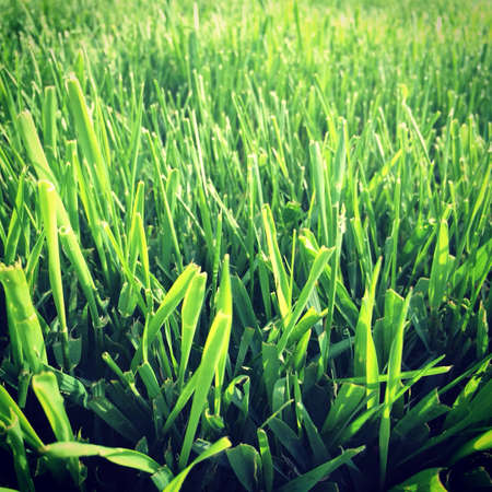 cut grass: Fresh green grass cut in the spring