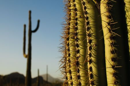 Near and far view of a Saguaro Cacti in Organ Pipe National Park
