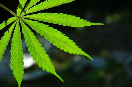 Backlight leaf of a marijuana plant. Stock Photo