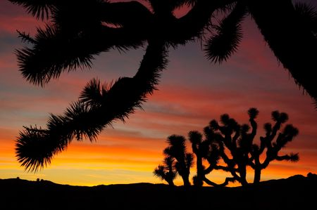 Joshua tree silhouettes at sunset.