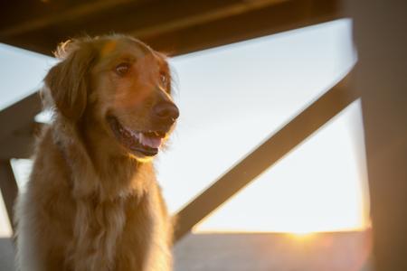 Golden Retriever op Life Guard Tower Stockfoto