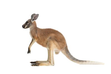 Profiel van een Baby Rode Kangoeroe op een wit