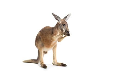 Rode kangoeroe in studio op een witte achtergrond. Stockfoto