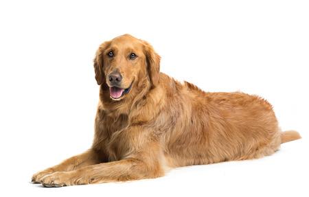 Golden retrieverhond die op witte achtergrond bepalen