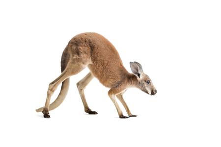 Rode kangoeroe op witte achtergrond.