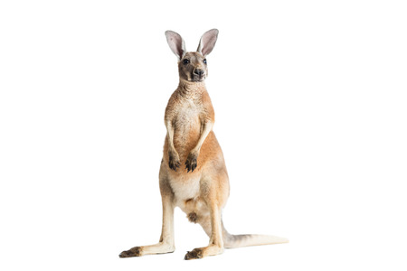 Red kangaroo on white background. Stock Photo - 91516870