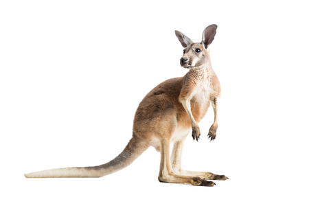 Red kangaroo on white background