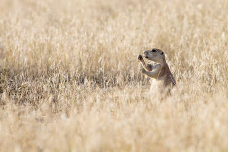 great plains: Black tailed prairie dog (Cynomys ludovicianus) eating at sunset.