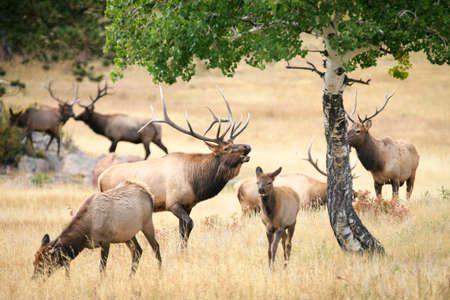 elk point: Large bull elk (Cervus canadensis) bugling in a meadow surrounded by a herd and aspen trees