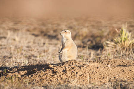 great plains: Black tailed prairie dog (Cynomys ludovicianus) standing onhind legs keeping watch near a burrow.