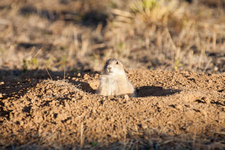 great plains: Black tailed prairie dog (Cynomys ludovicianus) looks out from its burrow at sunset.