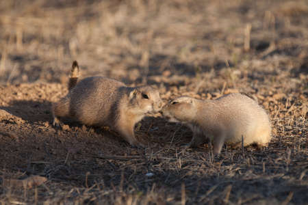 great plains: Black tailed prairie dogs (Cynomys ludovicianus) greet each other near their burrow at sunset.