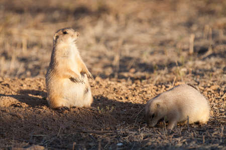great plains: Black tailed prairie dog standing on hind legs keeping watch near a burrow while a second prairie dog grazes nearby..