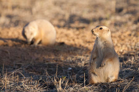 great plains: Black tailed prairie dog standing on hind legs keeping watch near a burrow while a second prairie dog forages in the background.