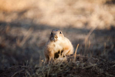 great plains: Portrait of a black tailed prairie dog (Cynomys ludovicianus) keeping watch near its burrow at sunset looking straight at the camera. Stock Photo