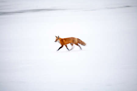 red mountain open space: A red fox (Vulpes vulpes) runs across a frozen lake in evening light.