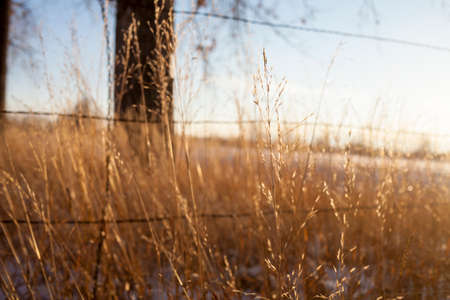 barbed wire fences: Golden prairie grass in side light at sunset with barbed wire in the background.
