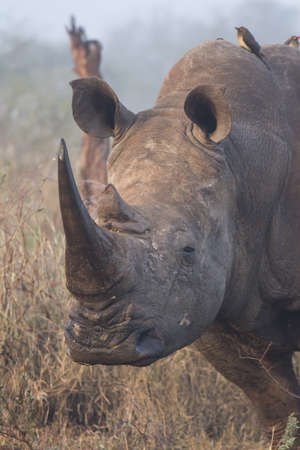 A close up Rhino portrait with two oxpeckers on his back Stock Photo