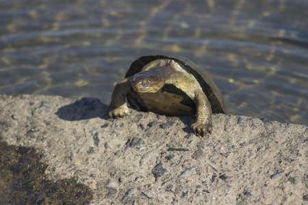 terrapin: Dentellata incernierato tartaruga di arrampicata su un blocco di cemento