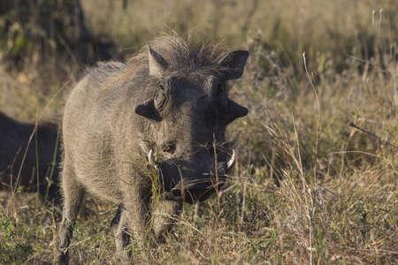 bush hog: Un retrato de un jabal� en la sabana africana
