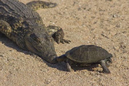 africa kiss: A terrapin kisses a crocodile