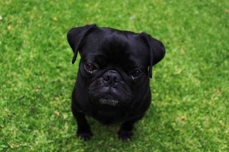 black pug: Adorable black pug outdoors with a green grass background