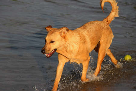 exits: Cross breed dog exits the water of a park dam leaving a tennis ball behind Stock Photo