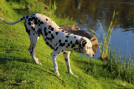 dalmation: Curious Dalmation explores the waters edge at a park dam Stock Photo