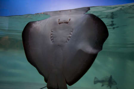 underbelly: Stingray Underside Through Glass With A Blue Sky