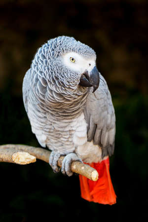african grey parrot: African Grey Parrot Perched on a Branch