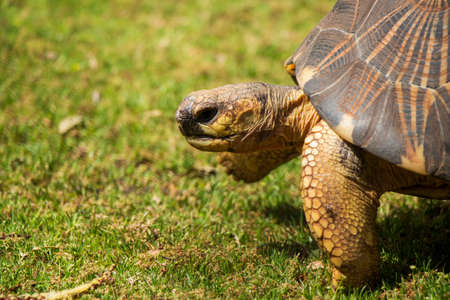 radiated: A Close Up of a Radiated Tortoise Taking a Step