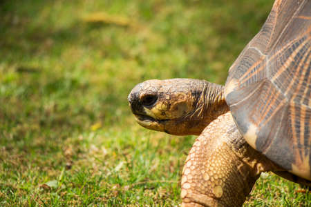 radiated: A Close Up of a Radiated Tortoise  Side Profile  Stock Photo