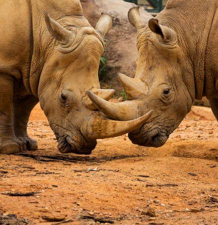 Two Rhino Locking Horns Close to the Ground