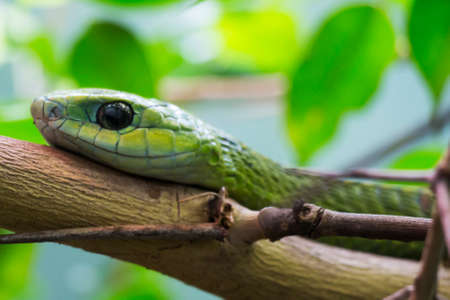 A Close Up of a Boomslang  Tree Snake