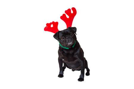 black pug: Curious Black Pug Wearing Christmas Reindeer Ears