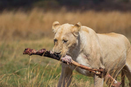 carcass: White Lioness Carrying a Bone From A Carcass Stock Photo