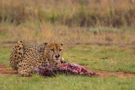 carcasse: Cheetah prend une pause de manger une carcasse Banque d'images