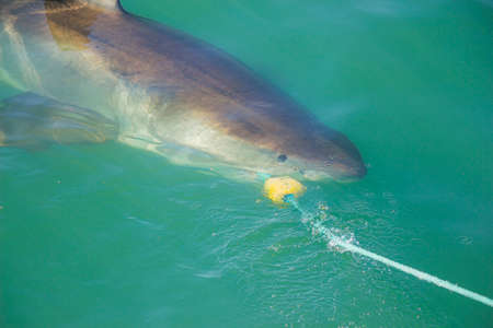 decoy: A Great White Shark biting a decoy and bait in the ocean Stock Photo