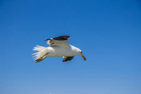 A seagull flying against the backdrop of a blue sky photo