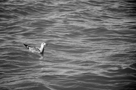 A seagull sitting of the surface of the ocean in black and white photo