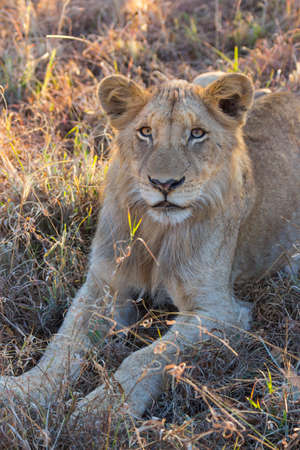 Portrait of a young lion lying in the grass photo