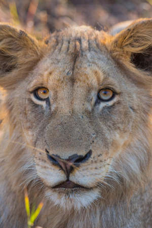 Portrait of a young lion photo