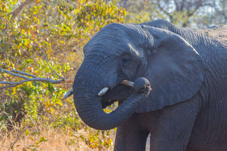 Elephant eating bark off of a branch Stock Photo
