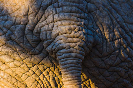 Detailed elephant skin texture with tail