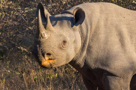 Black rhino in the wild Stock Photo