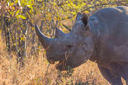 Black rhino in the wild photo